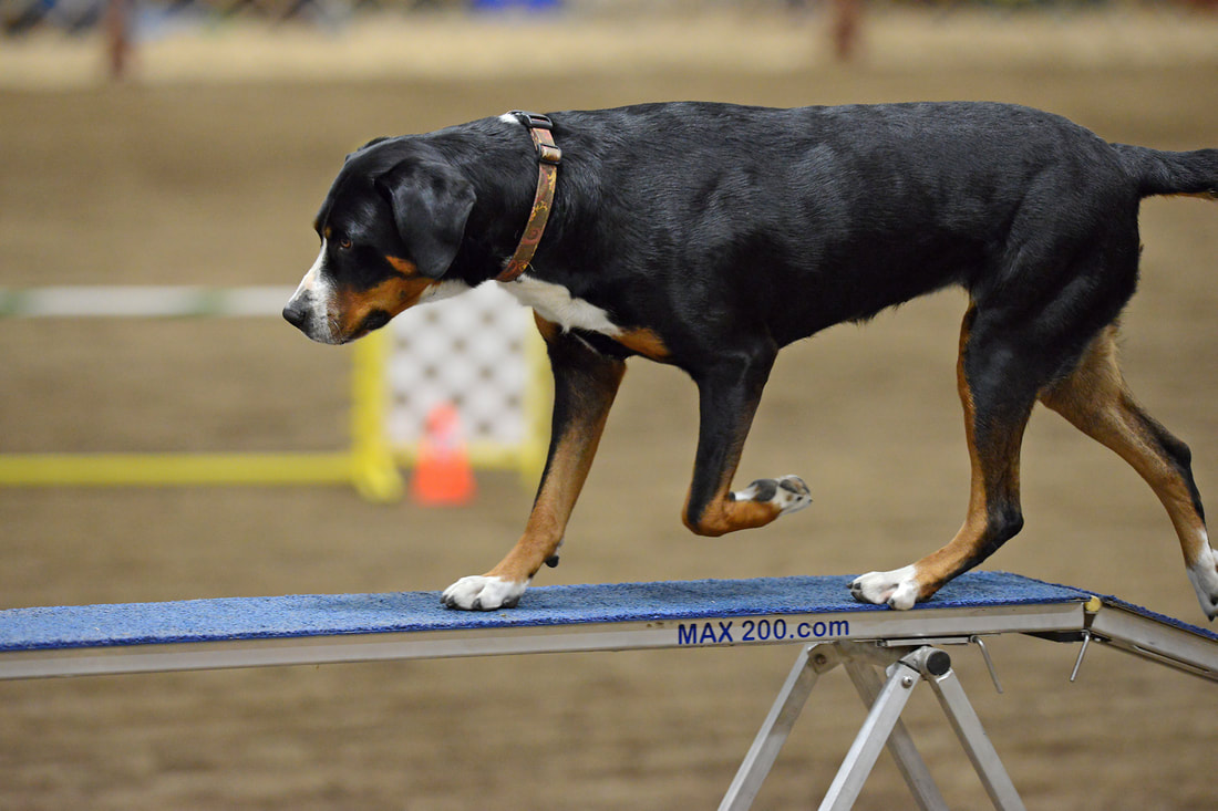 Gsmd Activities Trout Creek Swiss Mountain Dogs